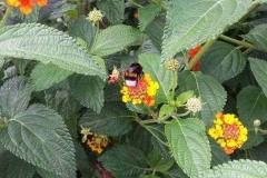 Abeja en el jardín botánico de Münster